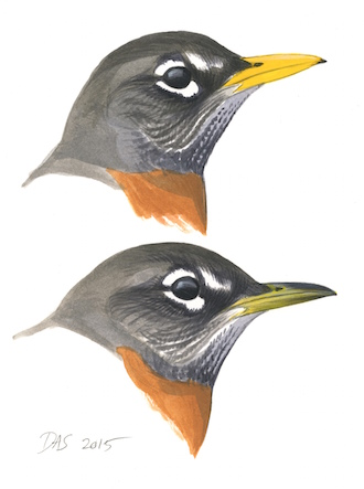 SEASONAL SIGNAL: The bill of an adult American Robin is bright yellow during breeding season (top) but drab outside it (bottom). The vivid color signals the bird's fitness as a mate. Artwork by David Allen Sibley.