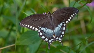 Spicebush Swallowtail in Hocking Hills, Ohio. Photo by Greg Hume (Wikimedia Commons).