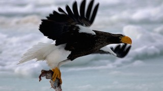 Stellar Sea-Eagle, Rausu, Hokkaido, Japan, by Jambomambo13 (Wikimedia Commons).