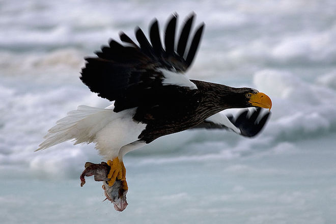 Stellar Sea-Eagle, Rausu, Hokkaido, Japan, by Jambomambo13 (Wikimedia Commons).