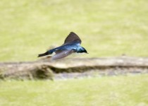 Swallow-05-17-15a