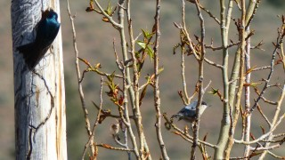 SwallowNuthatchNV
