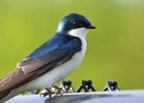 Tree-swallow-small