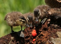 Wood_Ducklings