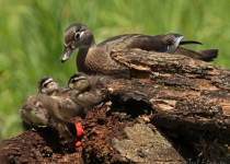 Wood_Ducklings_2