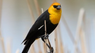 Yellow-headed-Blackbird6