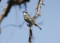 Yellow-rumped-Warbler-a