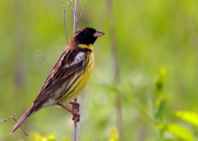 Yellow_breasted-Bunting_male_Amur2013_Ulrich-Schuster-660