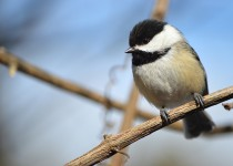 chickadee-small