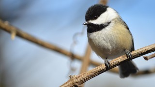 Black-capped Chickadee in Orangeville, Ontario, by Kylie MacEachern