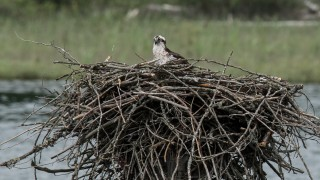osprey-nest-2-1-of-1