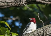 redheaded-woodpecker-06-01-2015e