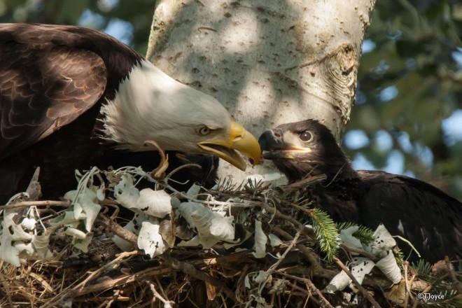 Bald Eagles in British Columbia, June 7, 2015, by Tony Joyce.