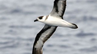 Black-capped Petrel off of Hatteras, North Carolina, photograph by Patrick Coin (Wikimedia Commons).