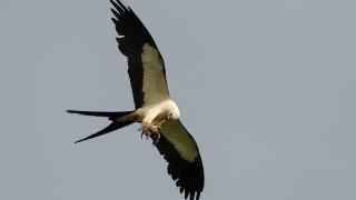 DSC0272-Swallow-tailed-Kite