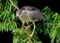 Gary-Andersen-Black-crowned-Night-Heron