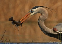 Great_Blue_Heron_Catfish2