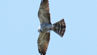 July-10-Mississippi-Kite2
