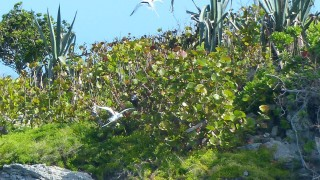 NestingPairWtropicbird