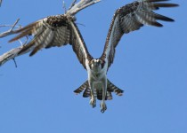 Osprey-in-flight-copy