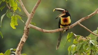 Pale-mandibled-Aracari1_edited-1