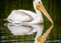 Pelican-Small2