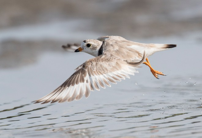 Piping Plover ©2015 Charles Gangas