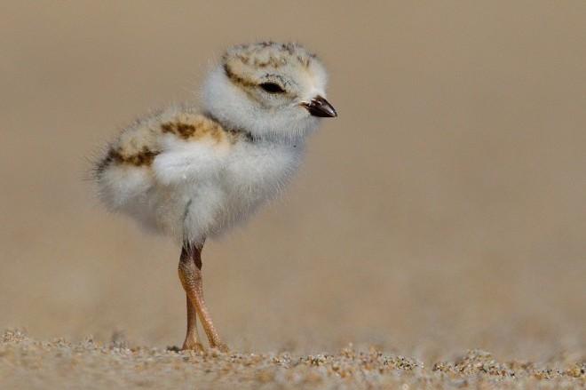 Piping Plover chick, Newbury, Massachusetts, by Kim Caruso.