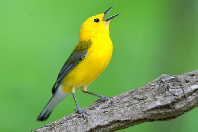 Prothonotary Warbler by Helena Reynolds