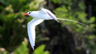 Red-billed Tropicbird at Little Tobago, December 13, 2014, by Sharp Photography (Wikimedia Commons).