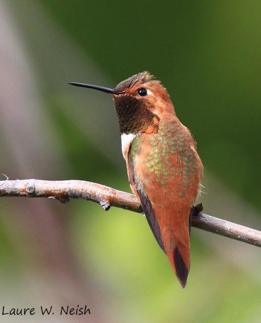Rufous Hummingbird in Penticton, British Columbia, by Laure Wilson Neish.