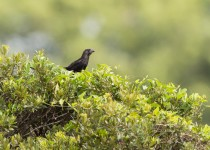 Smooth-billed-Ani1