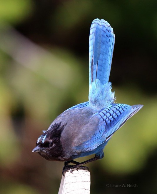 Steller's Jay at Mountain Springs Nature Retreat, Kaleden, British Columbia, by Laure Wilson Neish. Canon 5D Mk3 with 300mmf/2.8 + 1.4 telex.
