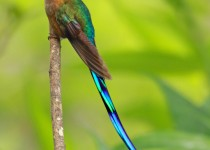Violet-tailed-Sylph1_edited-2