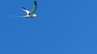 WTropicbird