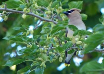 WaxwingMullberry