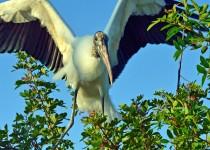Wood-Stork