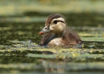 Wood_Duckling