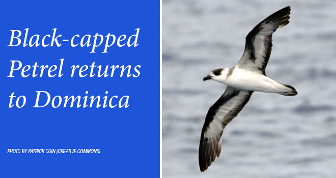 black-capped-petrel-rotator