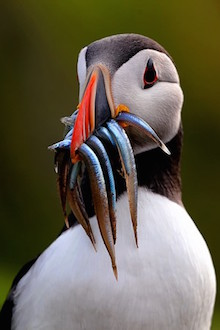 Atlantic Puffin at Skomer Island, Wales, by Doug Walsh.