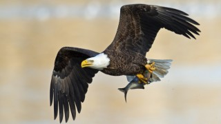 Bald Eagle at Maryland's Conowingo Dam. Photo by Brian Kushner