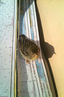 Blackpoll Warbler on s/v Cinderella about 20 miles off the Florida coast. Photo © Jaye Lunsford.