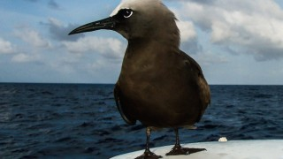 Halfway between Ascension Island and Barbados, a Brown Noddy perches on a radome. Photo © Ellen Massey Leonard.
