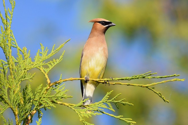 Cedar Waxwing at Luther Marsh Wildlife Management Area, Ontario, by Kylie MacEachern.