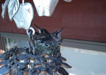 2 little rubythroated hummingbirds just before Tiddly fledged
