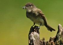 Eastern_Phoebe_with_Catch