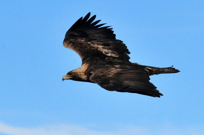 Golden Eagle soaring. Photo by Tom Koerner/U.S. Fish and Wildlife Service