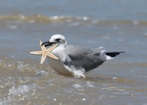 Laughing-Gull-with-Starfish-in-mouth