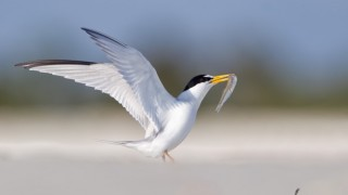Least Tern in Flagler Beach, Florida, by Joshua Clark.