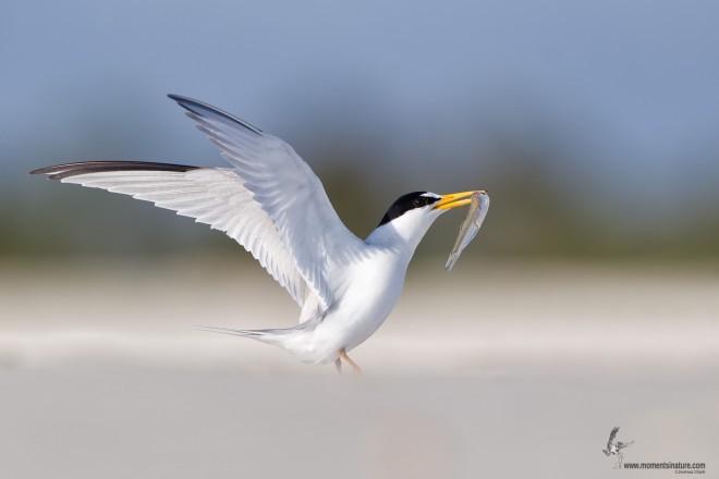 Least Tern in Flagler Beach, Florida, by Joshua Clark.